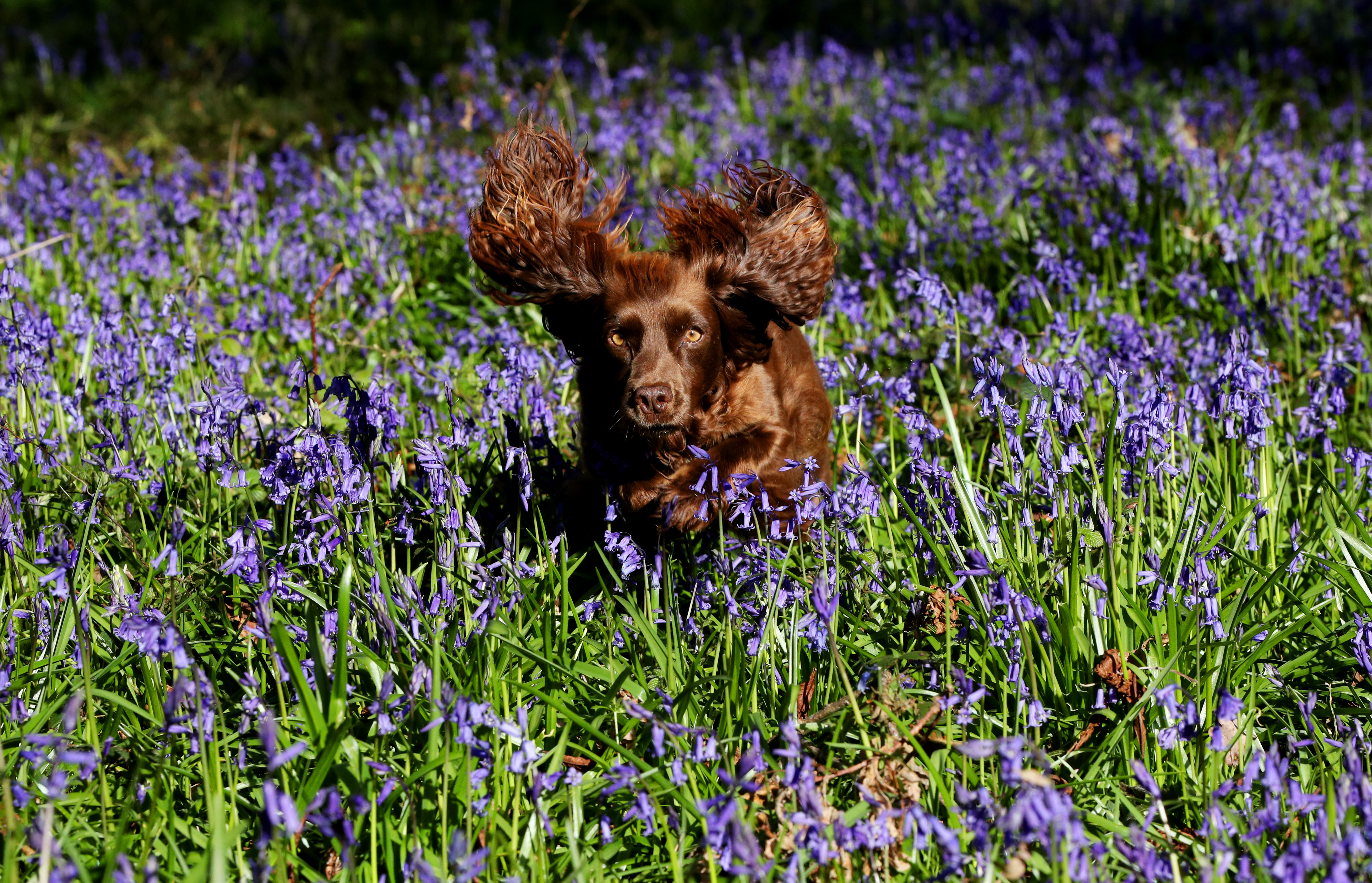 <p>A spaniel named 'Pickle' jumps through a blanket of bluebells near their peak at the National Trust's Basildon Park near Goring-on-Thames in Berkshire, where careful management of the estate's ancient woodland by trust staff and volunteers enables the bluebells to thrive. Picture date: Thursday April 22, 2021.</p>