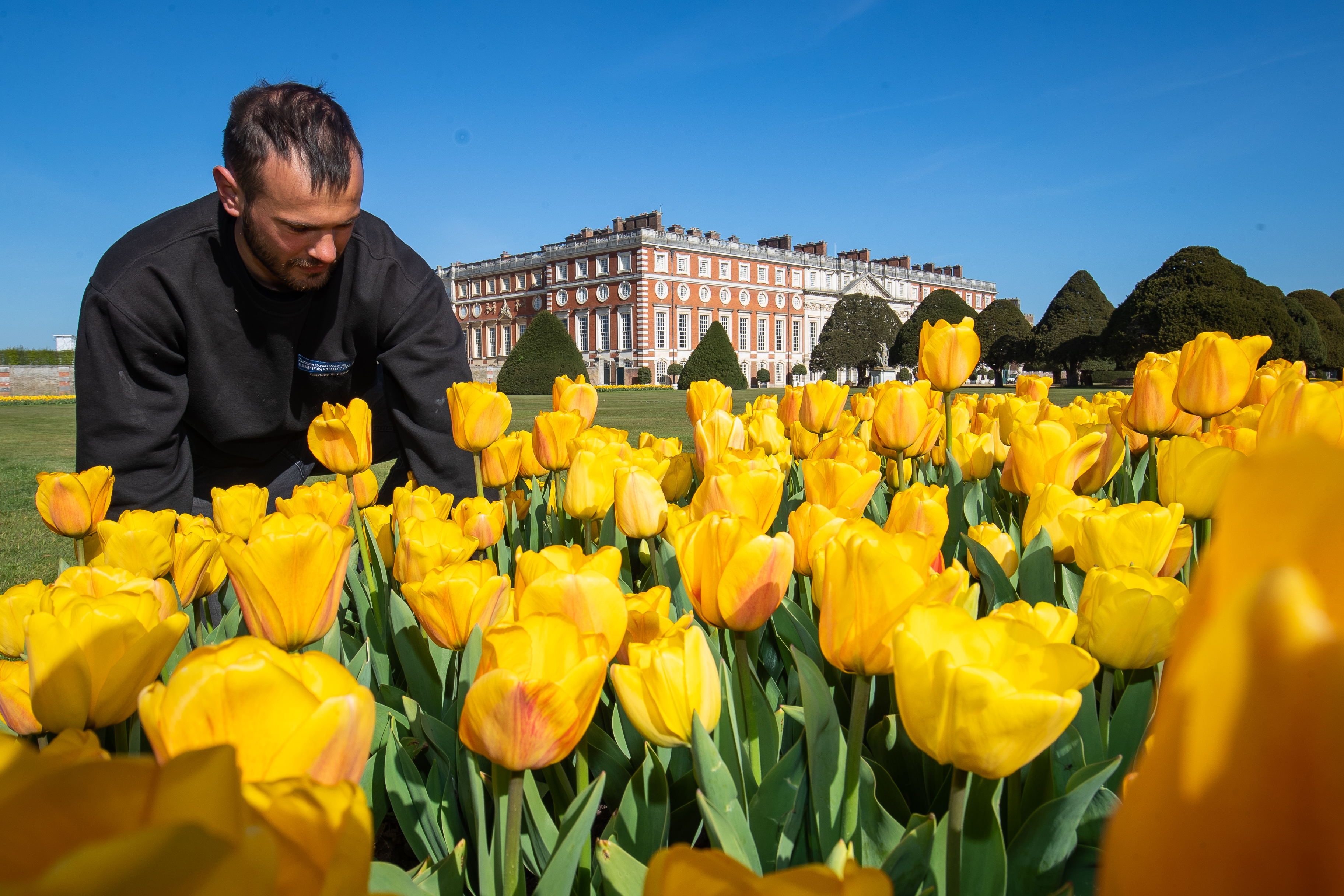 <p>Gardner James Randall tends to Tulips at the first ever Hampton Court Tulip Festival at Hampton Court Palace, south west London. The Tudor palace is preparing to reopen to members of the public following the easing of lockdown restrictions. Picture date: Thursday April 22, 2021.</p>