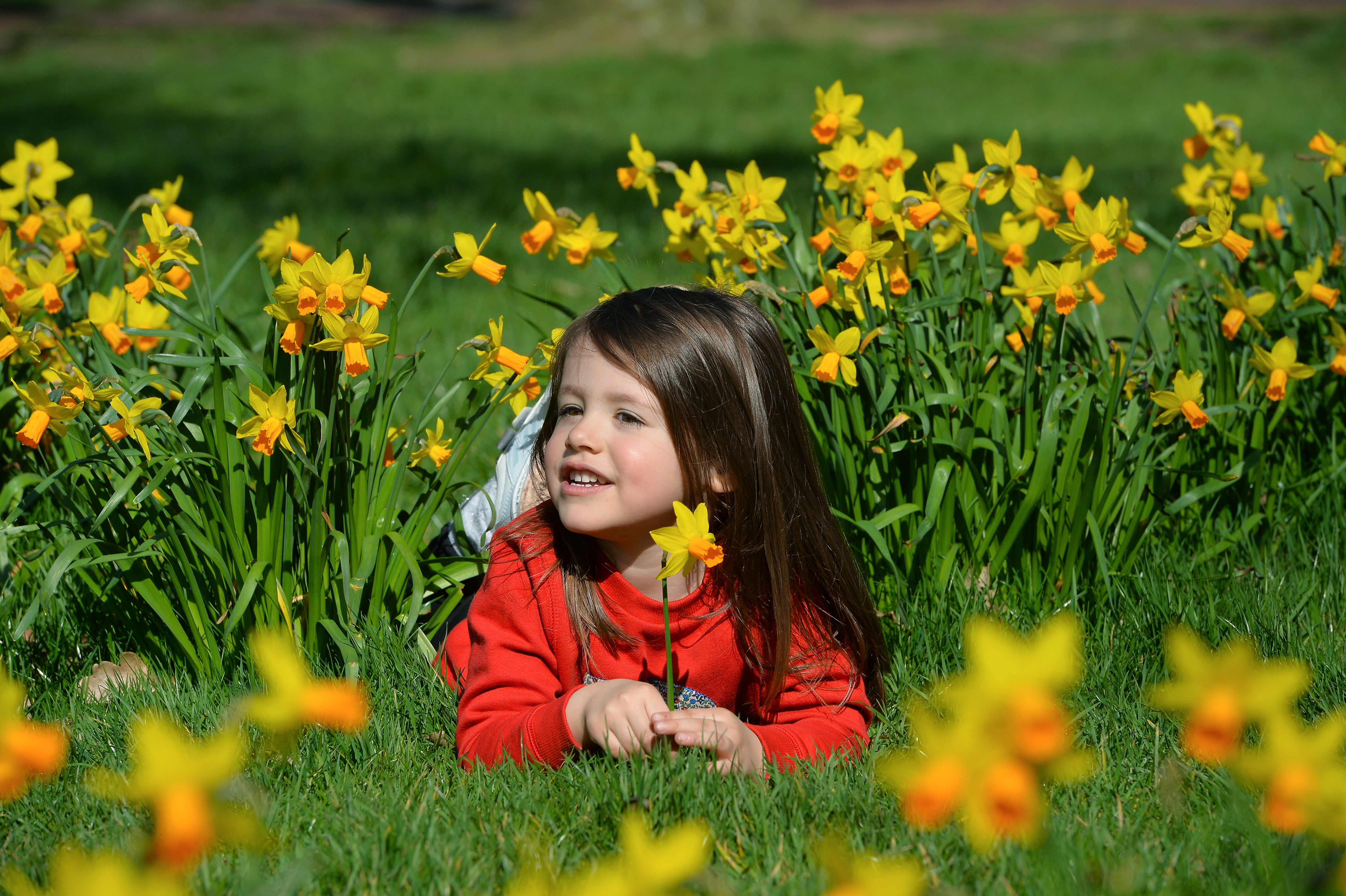 <p>Leicester, Leicestershire, UK 29th Mar 2021. UK Weather. Rowan Hannam, 3, enjoys the sunshine and Daffodils in Victoria Park in Leicester as some Coronavirus lockdown restrictions begin to lift in the UK. Alex Hannam</p>