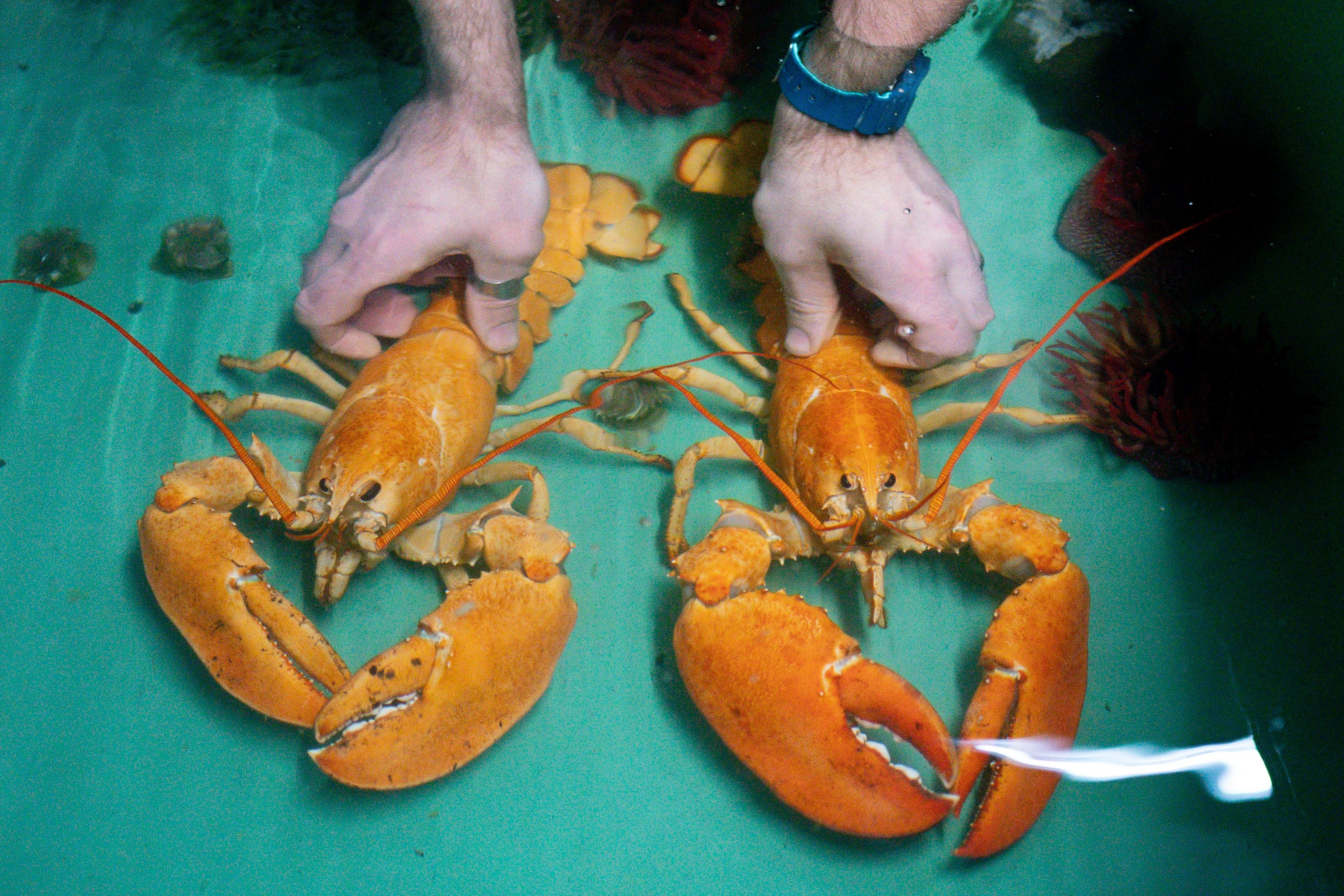 <p>Two rare orange Canadian lobsters settle into their new home at the National SEA LIFE Centre, Birmingham, after they were rescued by a shopper at a fishmongers in Leicester. Caterer Joseph Lee spotted the pair at the fish counter in a branch of Makro Wholesale before convincing the fishmonger to donate them to the aquarium. The lobsters are so rare that only one in 30 million are caught, with the chance of finding a pair one in a billion. Picture date: Friday May 28, 2021.</p>