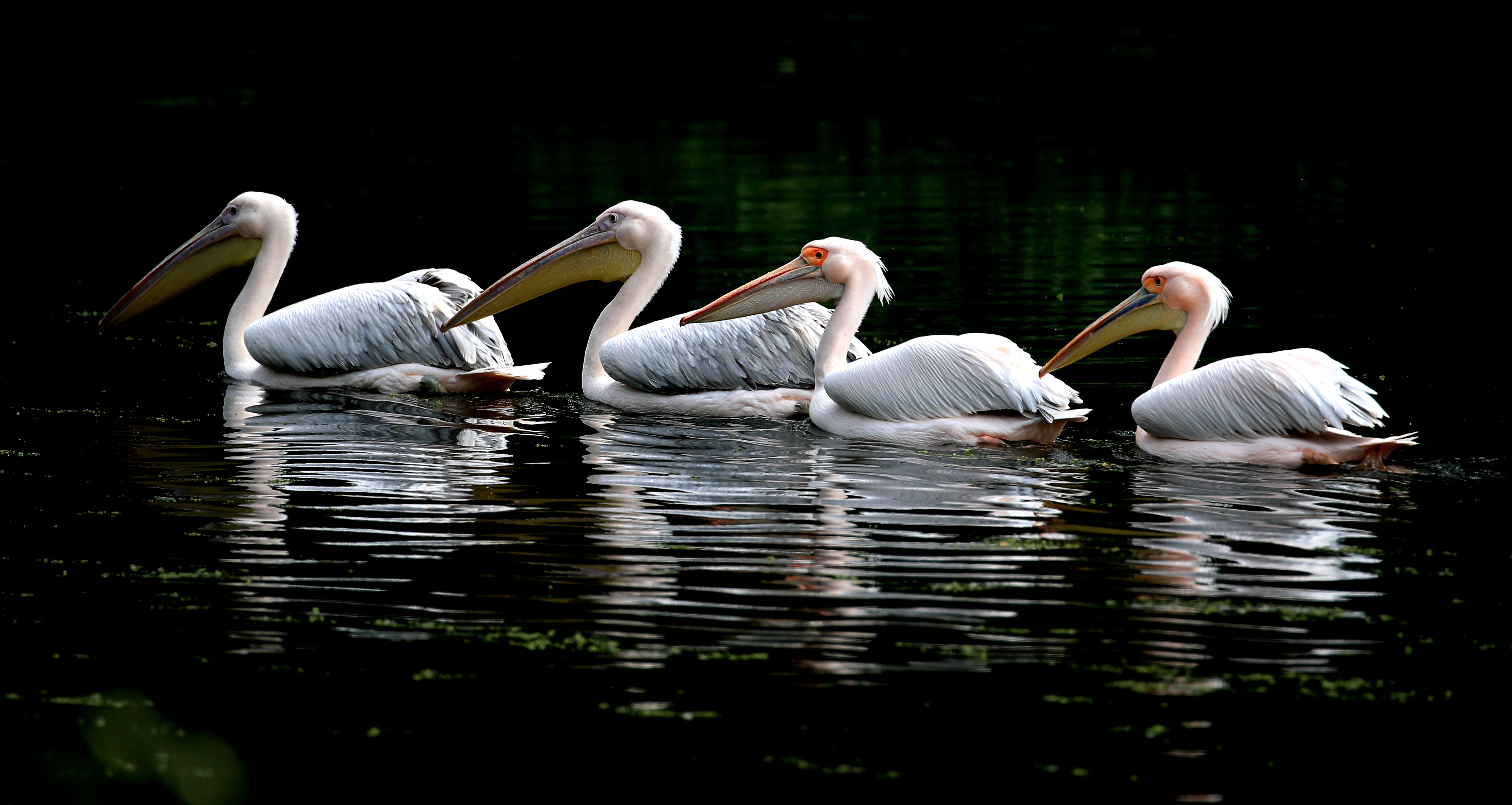 <p>White Pelicans in the sunshine in St James's Park, London. Picture date: Thursday May 27, 2021.</p>