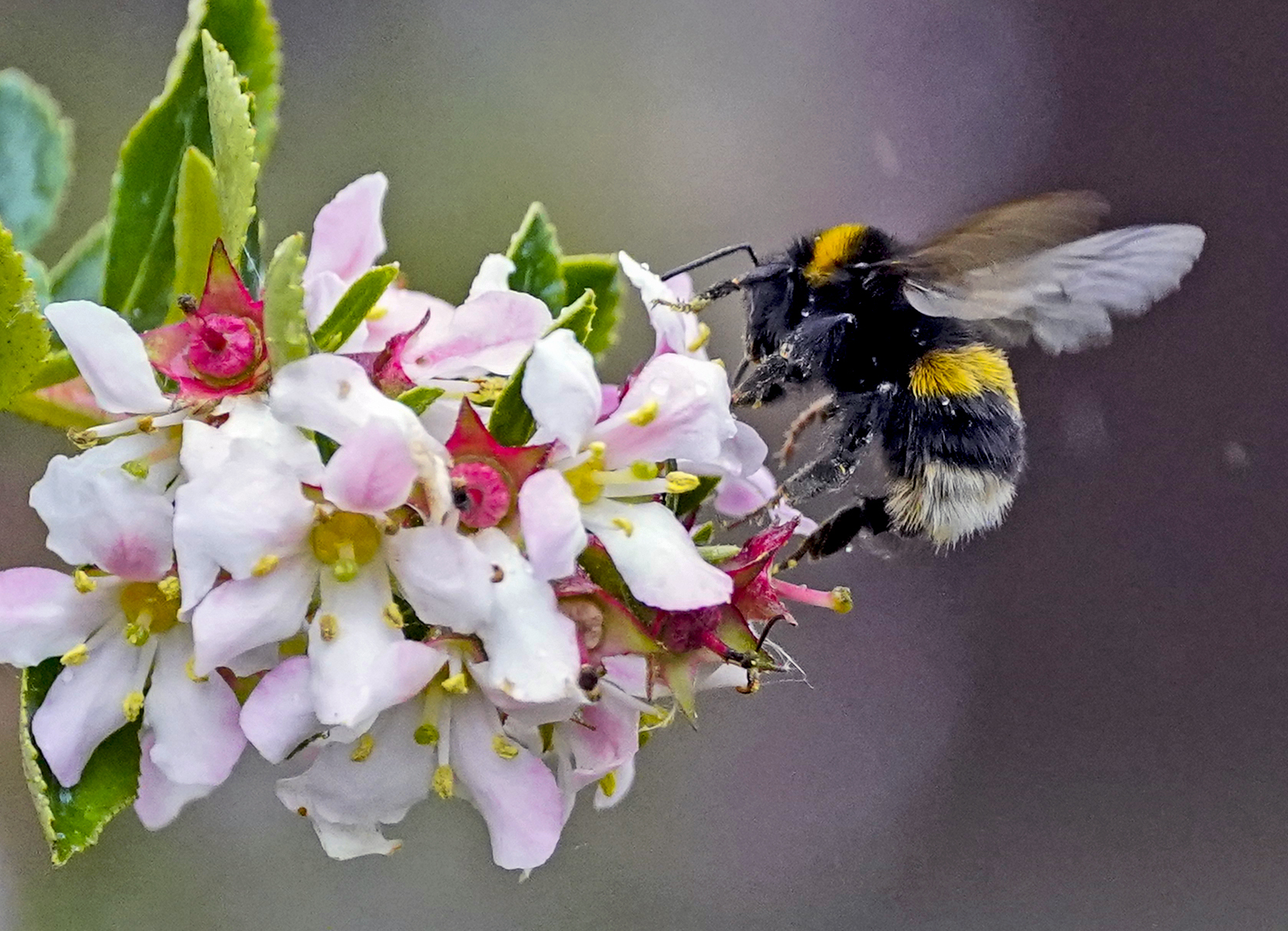 <p>A bumble bee on a flower in Liverpool. Picture date: Friday June 25, 2021.</p>