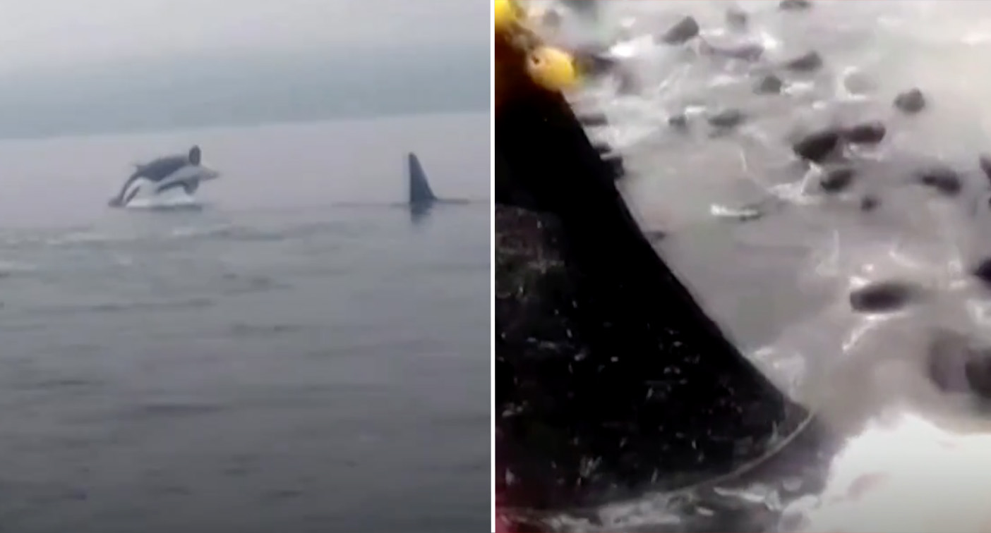 Dozens of sea lions leap onto fishing boat to escape killer whales