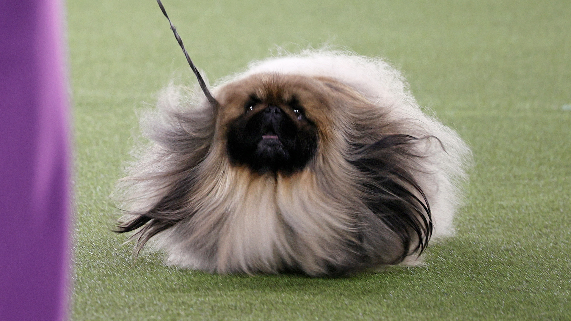 A Pekingese named Wasabi won Westminster's Best in Show and Twitter didn't approve