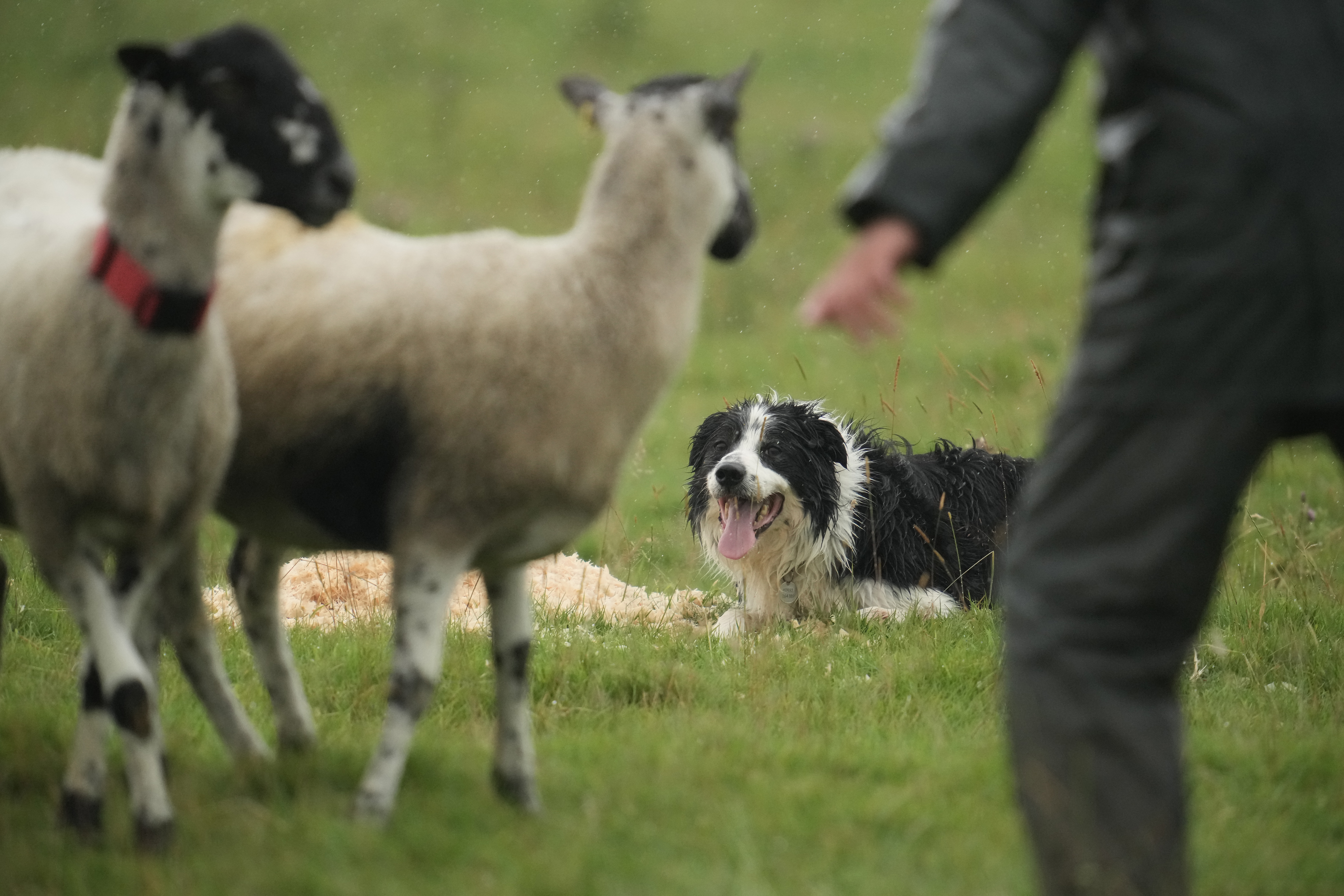 <p>ASHBOURNE, UNITED KINGDOM- JULY 30: Sheepdog Roy puts his skills to the test in the 2021 English National Sheep Dog Trials at Blore Pastures, near Dovedale, in the Peak District on July 30, 2021 in Ashbourne, United Kingdom. Top handlers and dogs from across England are taking part in the historic trial after last years event was cancelled due to the pandemic. (Photo by Christopher Furlong/Getty Images)</p>