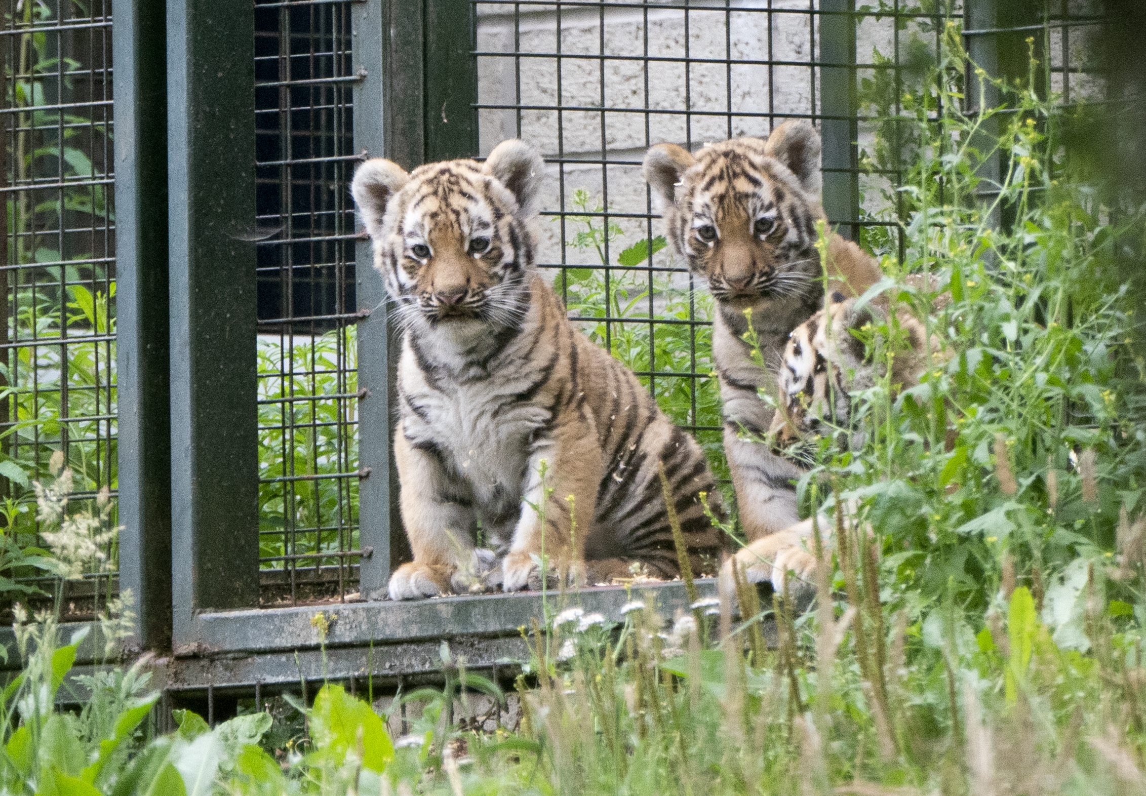 <p>Three Amur tiger cubs explore their outside enclosure for the first time at Highland Wildlife Park near Kingussie in the Highlands. Picture date: Monday July 26, 2021. (Photo by Jane Barlow/PA Images via Getty Images)</p>