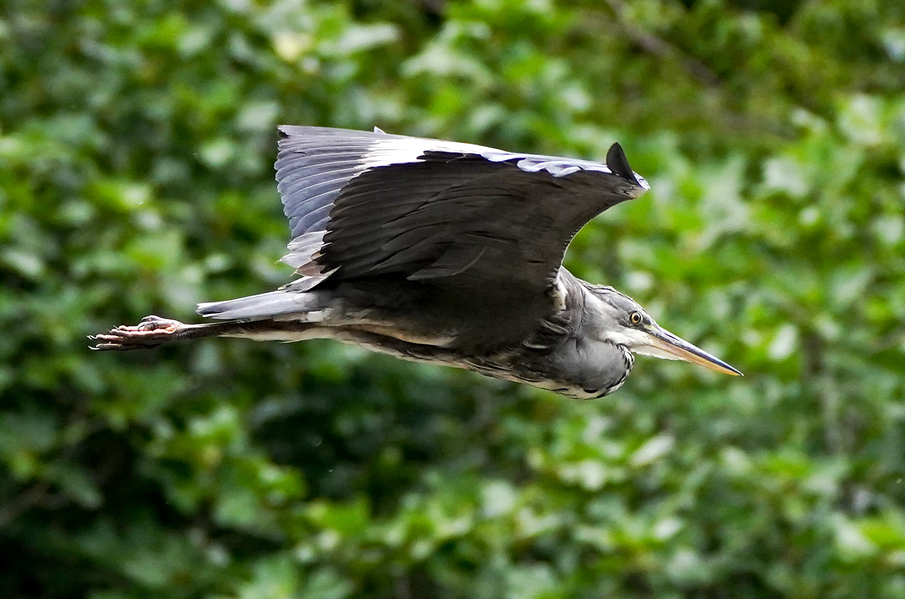 <p>A Grey Heron in St. James Park in London. Picture date: Monday August 2, 2021.</p>