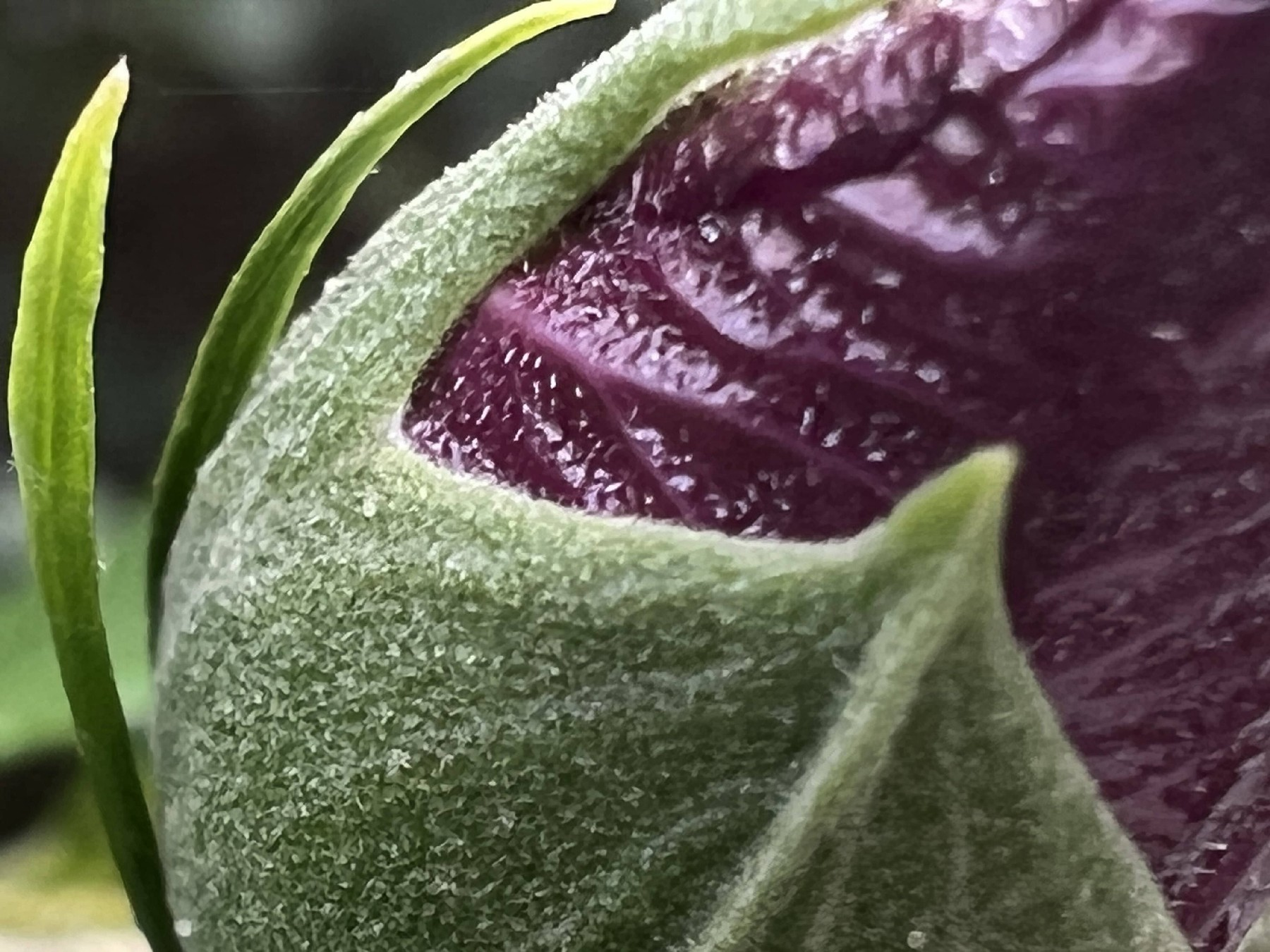 <p>iPhone 13 Pro camera sample: Macro photo of a purple flower bud showing tiny hairs.</p>