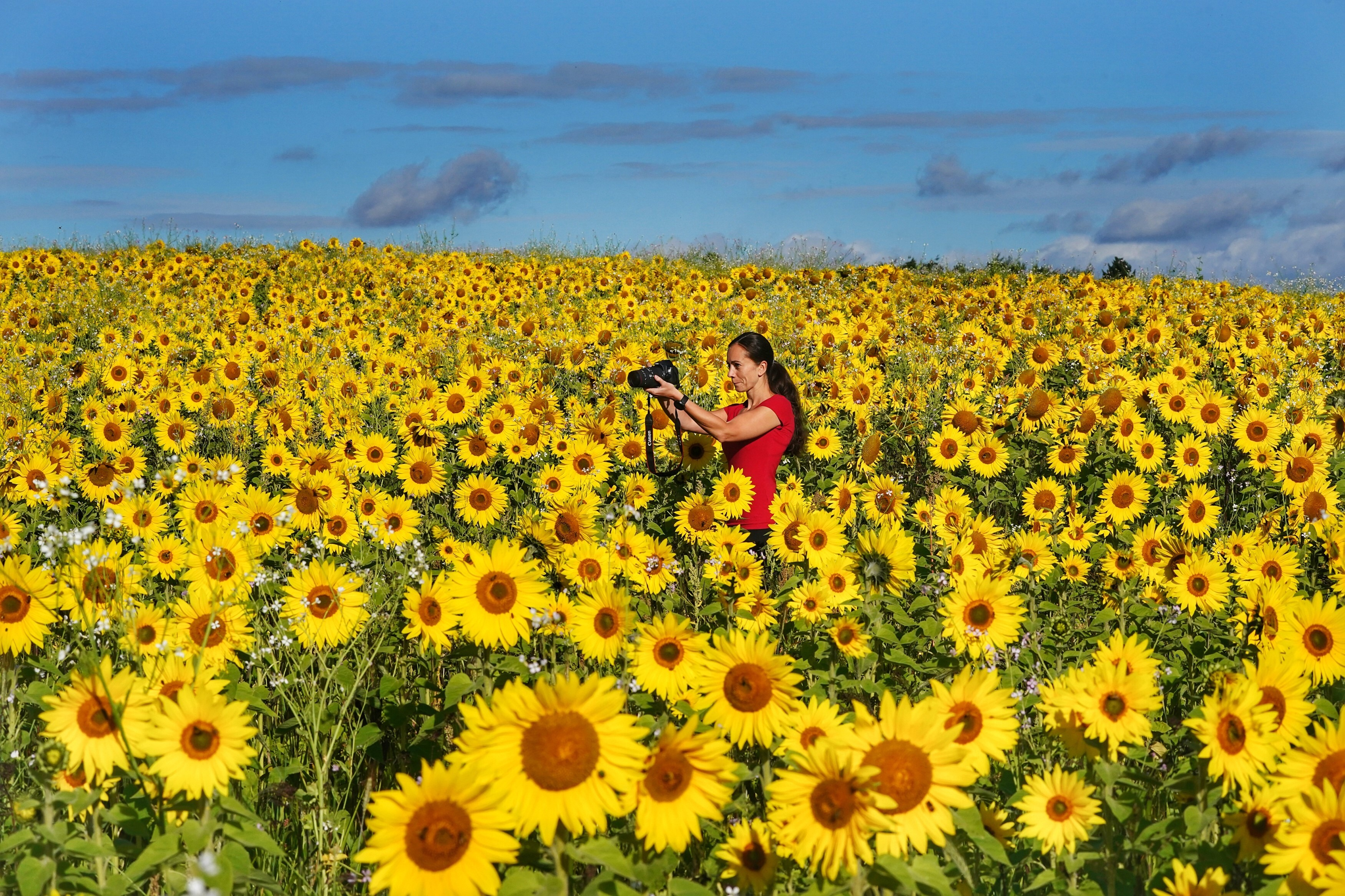 <p>A photographer takes a picture of a field of sunflowers near Ravensworth in North Yorkshire. Picture date: Thursday September 16, 2021.</p>
