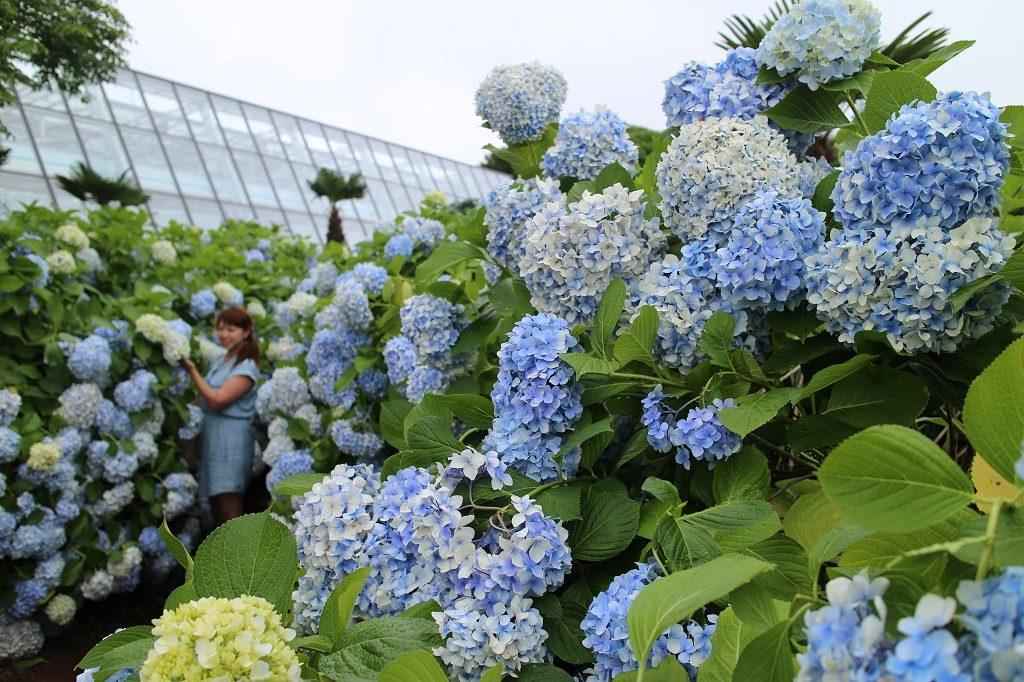 搭配夏天藍天白雲的繡球花 圖片提供:濟州觀光公社