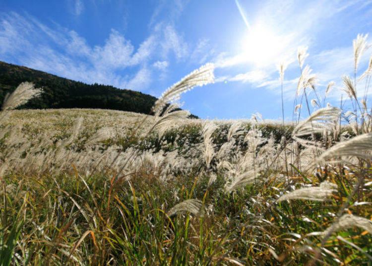 ▲一到秋天,為一睹閃耀金黃色芒草的風采,聚集了許多觀光客,隨風輕輕飄動的芒草看起來特別迷人