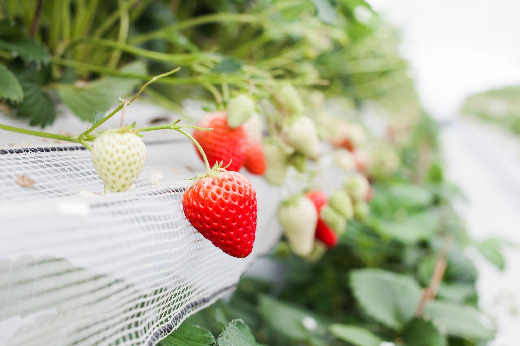 福岡甘王草莓