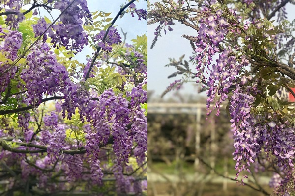 紫藤咖啡園為了維持花卉品質,每年僅在春季時分開園供大家欣賞。