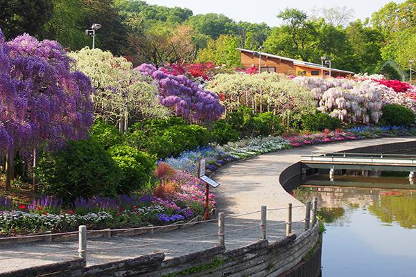 足利花卉公園 (圖/あしかがフラワーパーク/Ashikaga Flower Park)