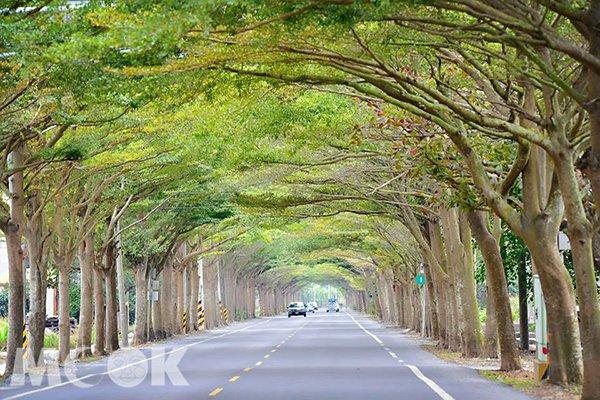 學甲區的174線公路道,兩旁聳立的行道樹小葉欖仁形成翠綠隧道 (圖片提供/林淑貞)