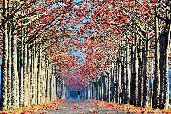 白河的林初埤木棉花道為全球15大最美花海漫步道之一 (圖/稻荷咖工作坊)