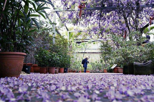 每年3至4月份紫藤花季,台北花卉村總洋溢著藍紫色的浪漫氛圍 (圖/台北花卉村)