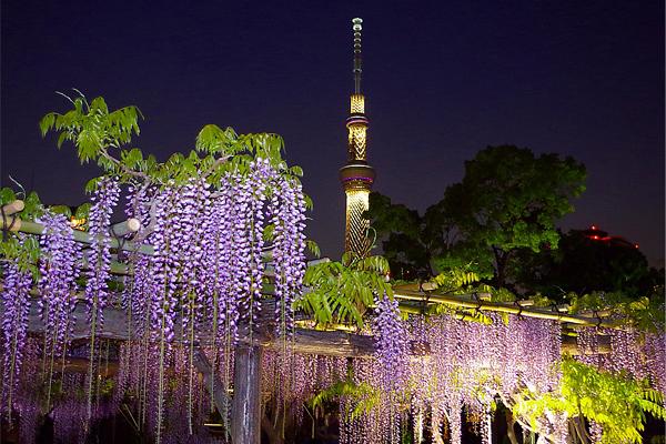 東京除了賞櫻,到了四月下旬更有紫藤花能夠欣賞 (圖/ponta1)