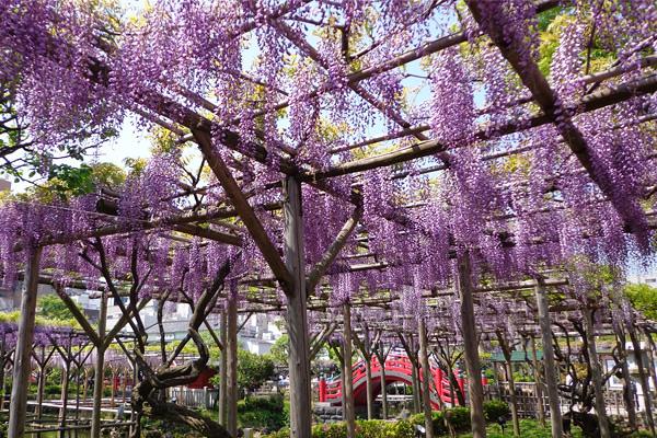 紫藤花綻放將天空染成了藍紫色的夢幻色彩 (圖/jsjapan)