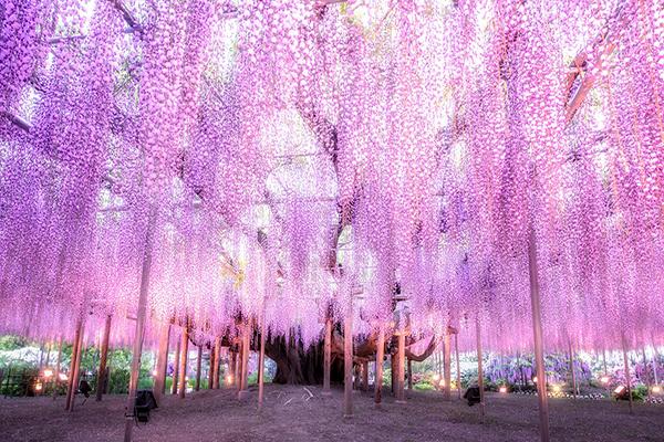 足利花卉公園夢幻紫藤 (圖/あしかがフラワーパーク/Ashikaga Flower Park)