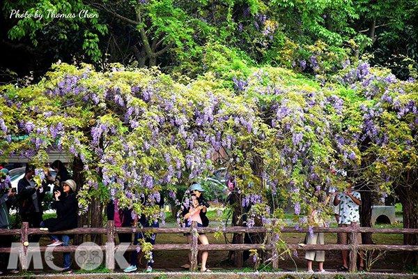 桃園龜山的大湖紀念公園,沿著公園的步道漫步,即會看見大片垂掛於藤架上的紫藤花瀑布 (圖片提供/Thomas Chen)