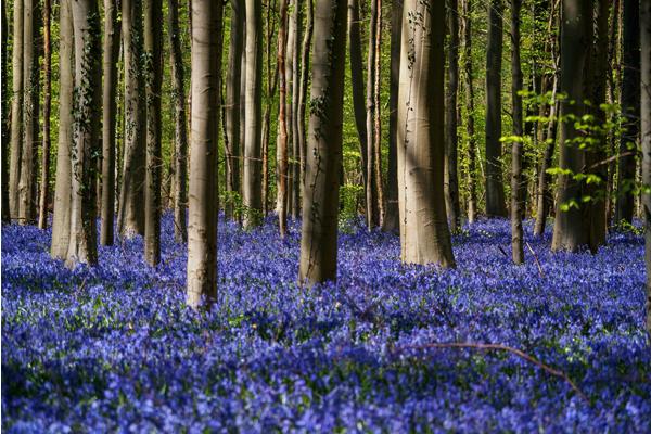 藍紫色的花毯,超現實的像是打翻的藍紫色顏料。(圖片來源/reddit)