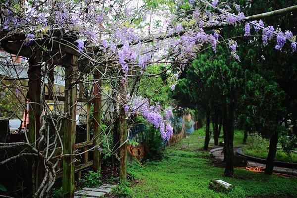 嘉義瑞里特色紫藤花綻放,大片紫藤花海令人著迷 (圖/雲鄉瑞里)