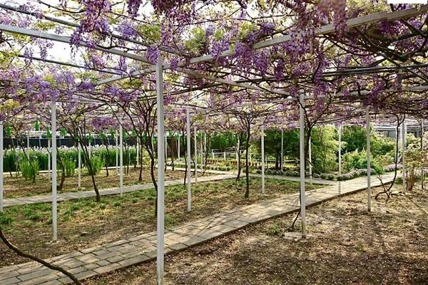 除了紫藤花外,紫藤咖啡園內還種植了多樣不同品種花卉,如玫瑰花、天使花、紫鳶花等都可在園區內欣賞得到。