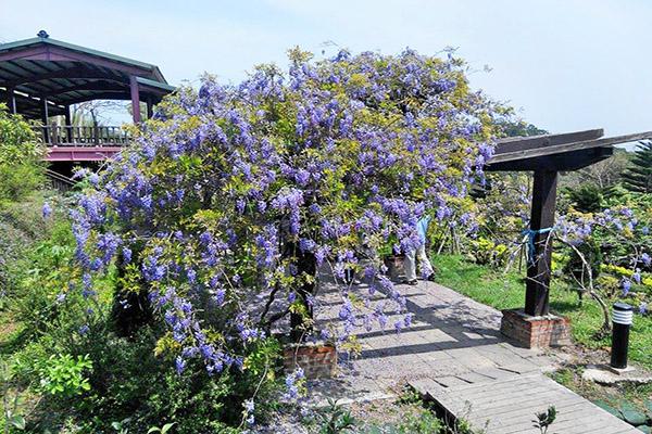 杜石地一號紫錐花莊園 (圖/杜石地一號)