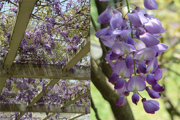 花卉試驗中心紫藤花海 (圖/陽明山花季)