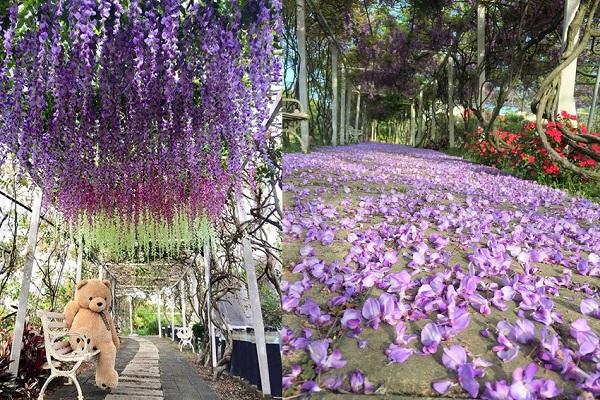 廊道內紫藤花的紫色花朵如雨般落下,形成另類花毯。