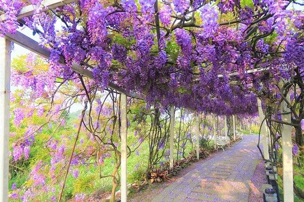 位於淡水的紫藤咖啡園內的紫藤花廊,浪漫的紫藤花滿開攀附於廊道頂上,形成絕美的紫色夢幻隧道 (圖/紫藤咖啡園)
