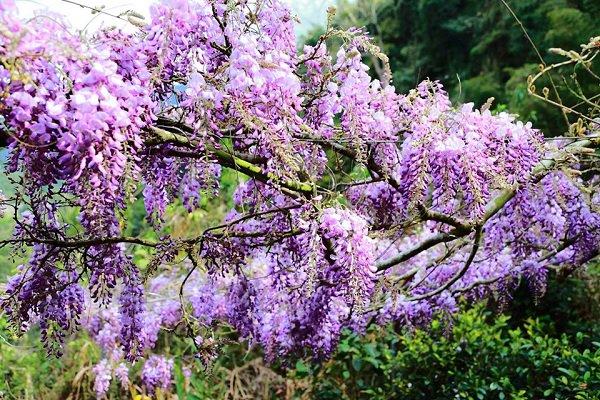 紫藤花如流蘇般垂落而下,紫色的花綻放讓人感受浪漫逼人 (圖/雲鄉瑞里)