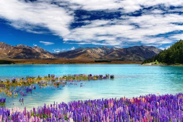 蒂卡波湖畔開滿各種顏色的魯冰花。(圖片來源/feel-planet)