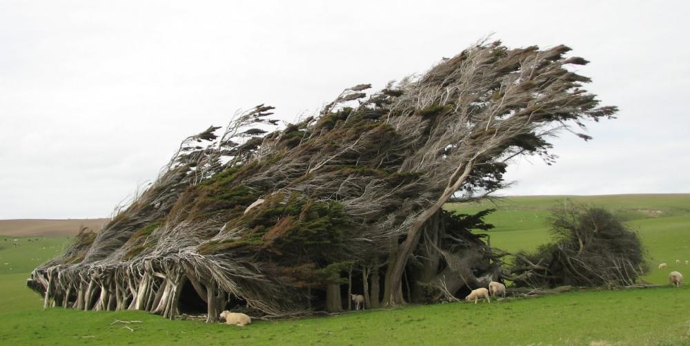 紐西蘭南島草原有一處風吹樹,終年被強風侵襲而形成樹斜奇景!圖片來源:The Funambulist