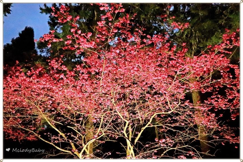 九族櫻花祭 (22).JPG