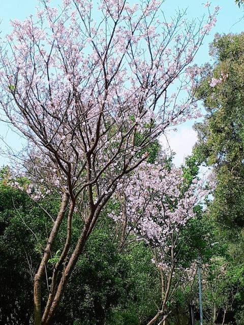 2018-03-25-09-58-48.jpg - 2018陽明山櫻花季