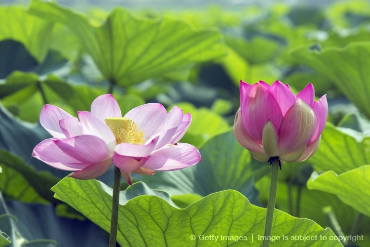 Lotus Flowers, Kusatsu, Shiga Prefecture, Japan