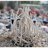 ⓒNavajoa peeblesiana903種子(5顆裝) 仙人掌種子【D34】