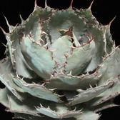 CARMO龍舌蘭Agave guadalajarana種子(5顆裝)【D54-1】