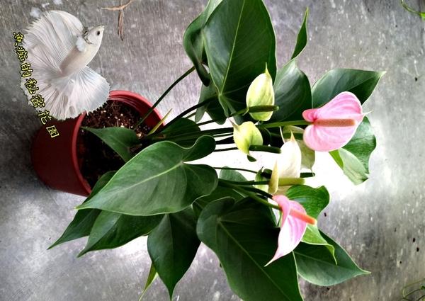 5-6吋盆 [粉冠軍] 粉紅色火鶴活體盆栽 室內辦公室盆栽 開幕喬遷開店賀禮 送禮首選