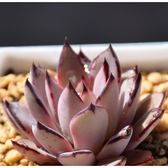 CARMO普埃布拉種子(10顆裝) 多肉植物種子【H51】