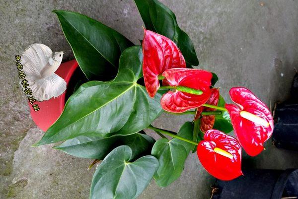 [紅色火鶴] 室內植物 5-6吋活體盆栽 送禮小品盆栽