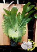 [懸掛式 巨獸鹿角蕨木板盆栽] 室外/室內植物 多年生觀葉盆栽 種越久長越大