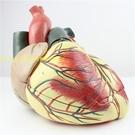 醫學彩超科 心臟模型 心內科 人體心臟解剖模型 放大版循環系統