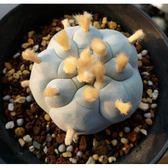ⓒ特粉白疣烏羽玉種子(5顆裝) 仙人掌種子【K34】
