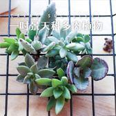ⓒ隨機多肉植物小盆1吋(成株-景天科) x 台灣農場【Z0004】