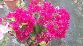 圍籬植物 ** 九重葛/深紫複瓣 ** 6吋盆/高40-50公分 /爭奇鬥艷的花兒【花花世界玫瑰園】R