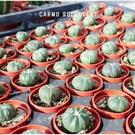 〔新手入門〕CARMO仙人掌兜成株(1吋) 多肉植物 夏日【Z0030】