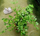 [大義大利芹菜盆栽] 5-6吋盆活體香草植物盆栽, 可食用可泡茶
